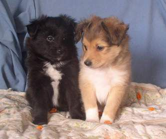 The Irish Toy Collie Cute Little Animals Cute Animals Baby Animals