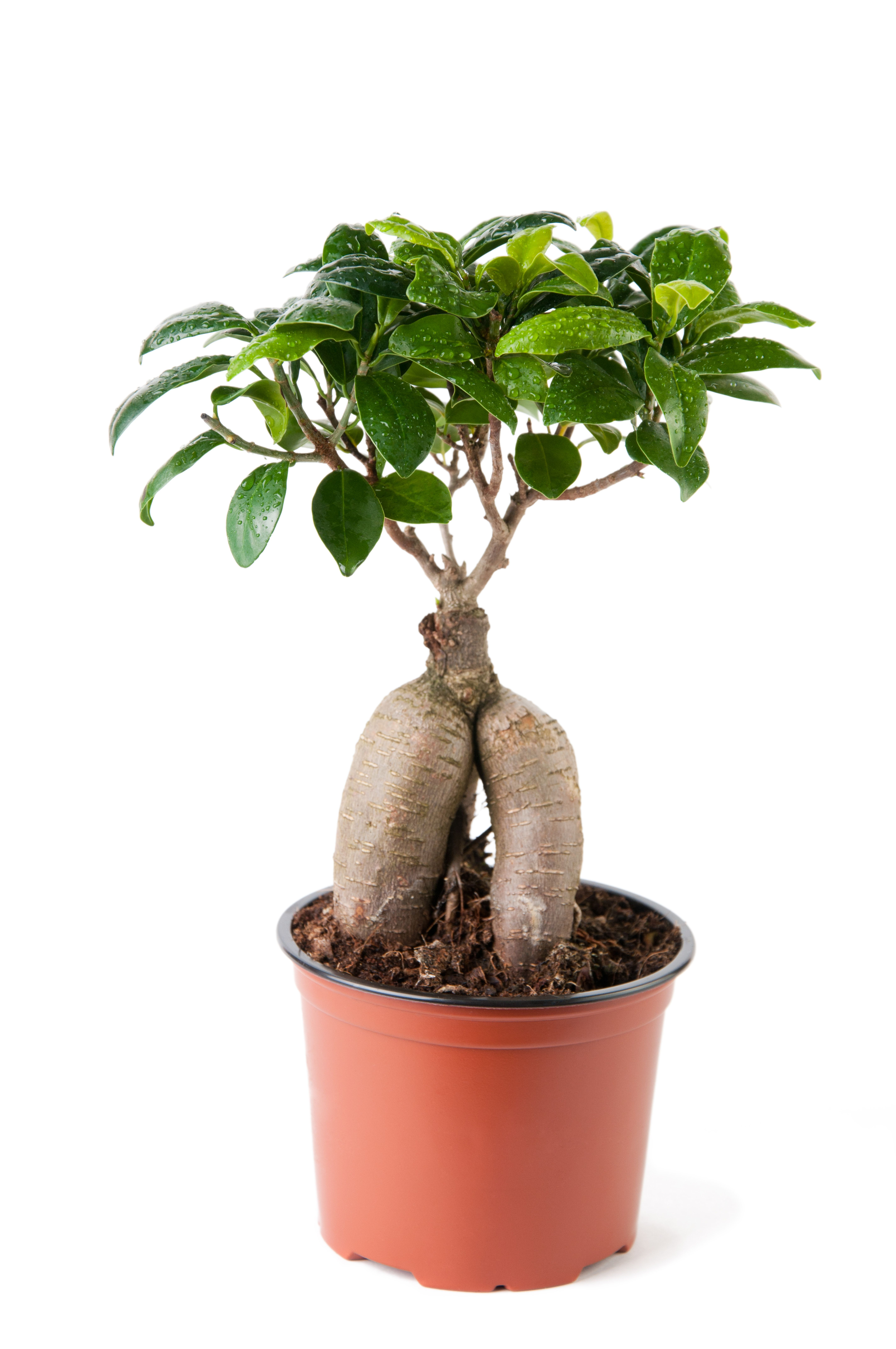 how to grow a ginseng ficus bonsai bonsa pinterest bonsa plantes et jardins. Black Bedroom Furniture Sets. Home Design Ideas