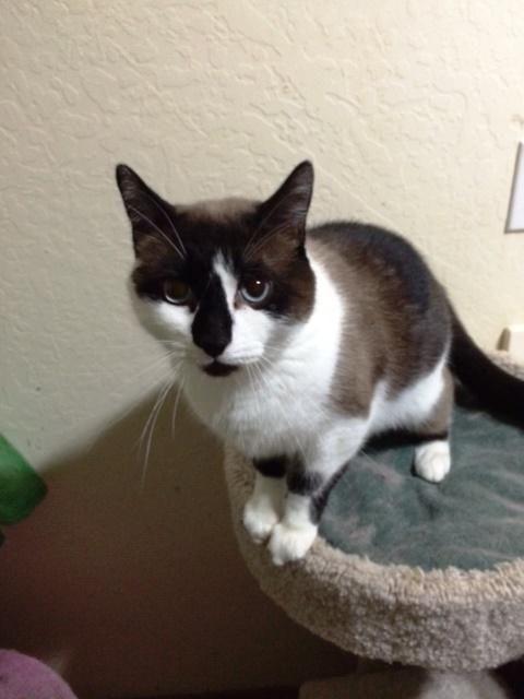 Adopt Baby on Snowshoe cat, Adoption, Kitty