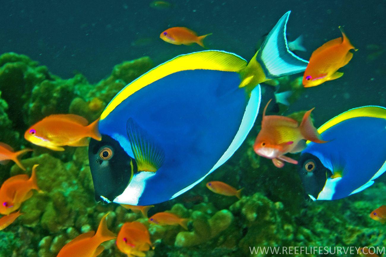 Powderblue Surgeonfish Acanthurus Leucosternon Other Names Blue Surgeonfish Powder Blue Surgeonfish Powder Blue Tang Powder B Sea Animals Fish Pet Fish