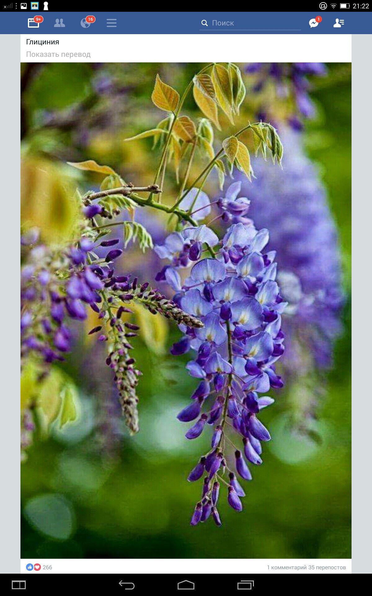 Piantare Alberi Di Paulonia wisteria   glicine, fiori, piantare fiori