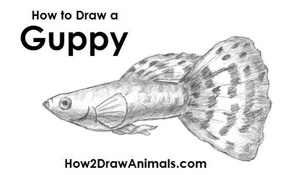 How To Draw A Fish Guppy Fish Sketch Guppy Fish Drawings