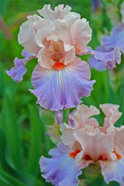 Tb Iris La Fenice Augusto Bianco 2017 Iris Garden Flowers Photography Iris