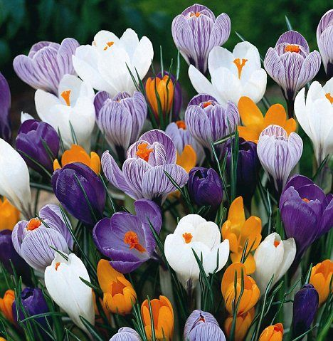 keväällä kukkiva istutus: krookus, lumikellosta seuraava kukkija. Kukkii rannikolla huhtikuussa. runsaasti värivaihtoehtoja. Mahtavan näköinen kun istutat ison määärän tiheään!