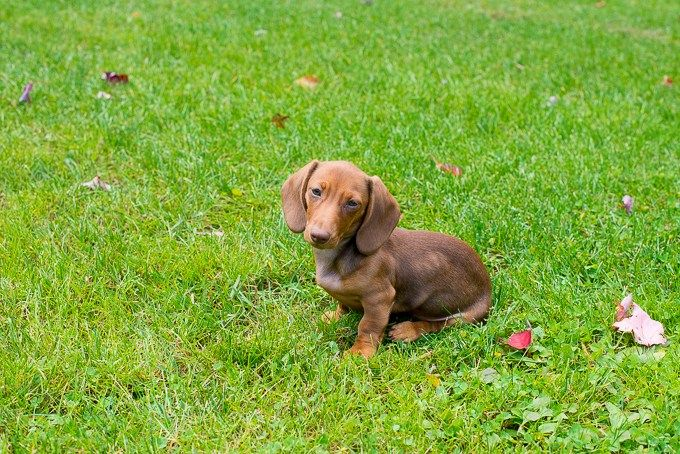 How To Crate Train A Dachshund Lifestyle Dog Training Dogs E