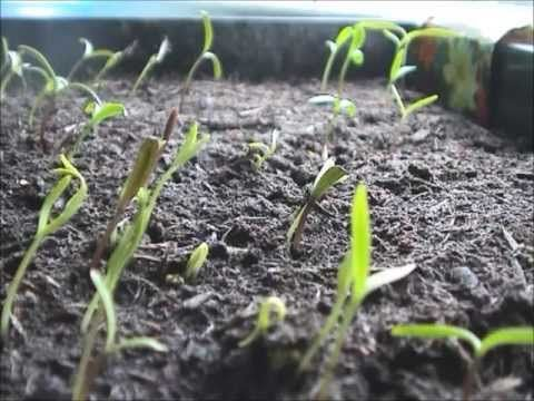 Transplanting Cosmos Youtube Landscape Cosmos Time Lapse Film Seeds