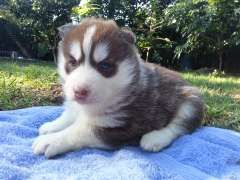Siberian Husky Puppies From Champion Bloodlines Puppies For Sale