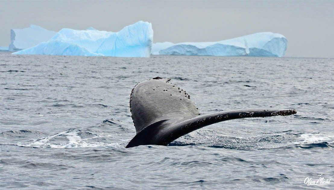 животные антарктиды фото синего кита оказался симпатичным типичным