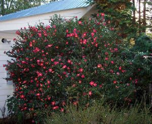 Camellia Sasanqua Yuletide Zone 7 9 Full Part Sun At Least 2 3hrs Direct Sun To Bloom 8 10 Height Width Sing Yuletide Camellia Plants Evergreen Shrubs