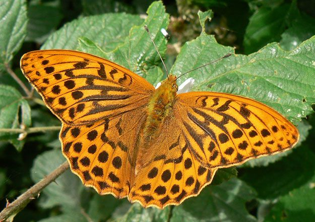 Butterfly Conservation - Silver-washed Fritillary