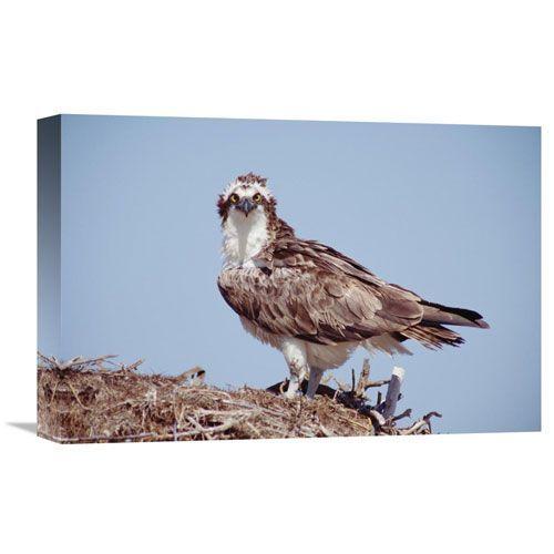 Osprey Adult Perching On Nest, Baja California, Mexico By Tim Fitzharris, 12 X 18-Inch Wall Art