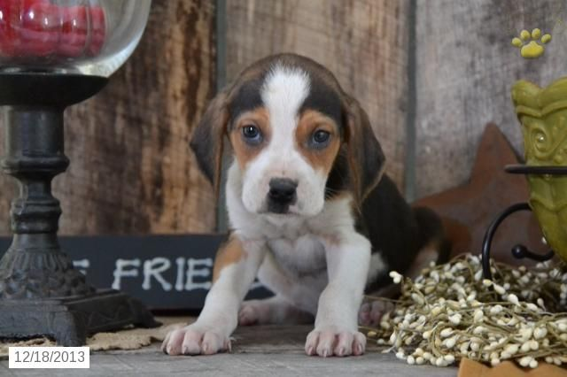 Walker Hound Puppy For Sale Walker Hound Coonhound Puppy