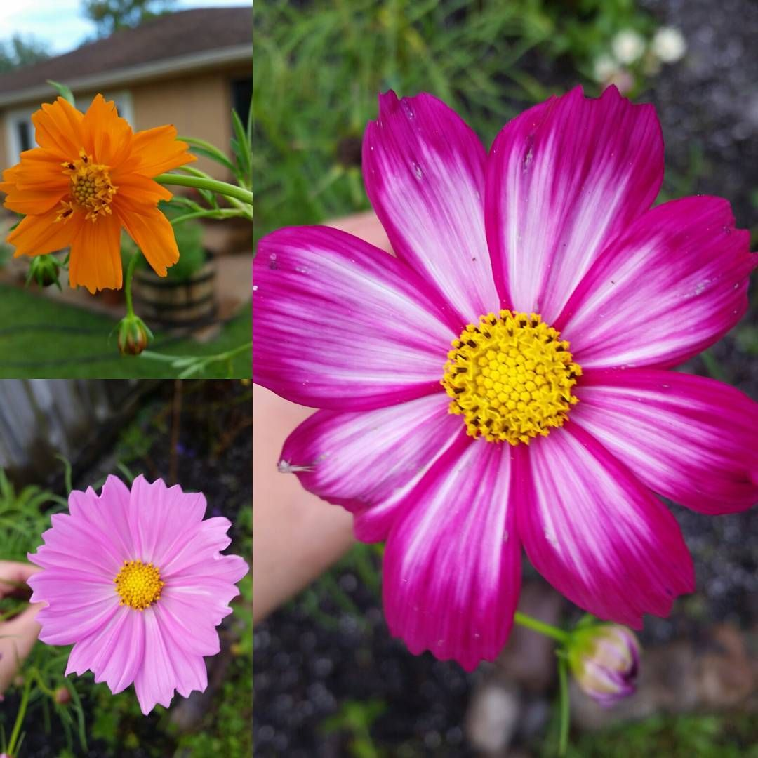 3 Types Of Cosmos Flowers From The Garden Flowers Always Make Me Smile Botanicalinterests Chiquitatarita Instagram Flowers Gardening Blog Botanical