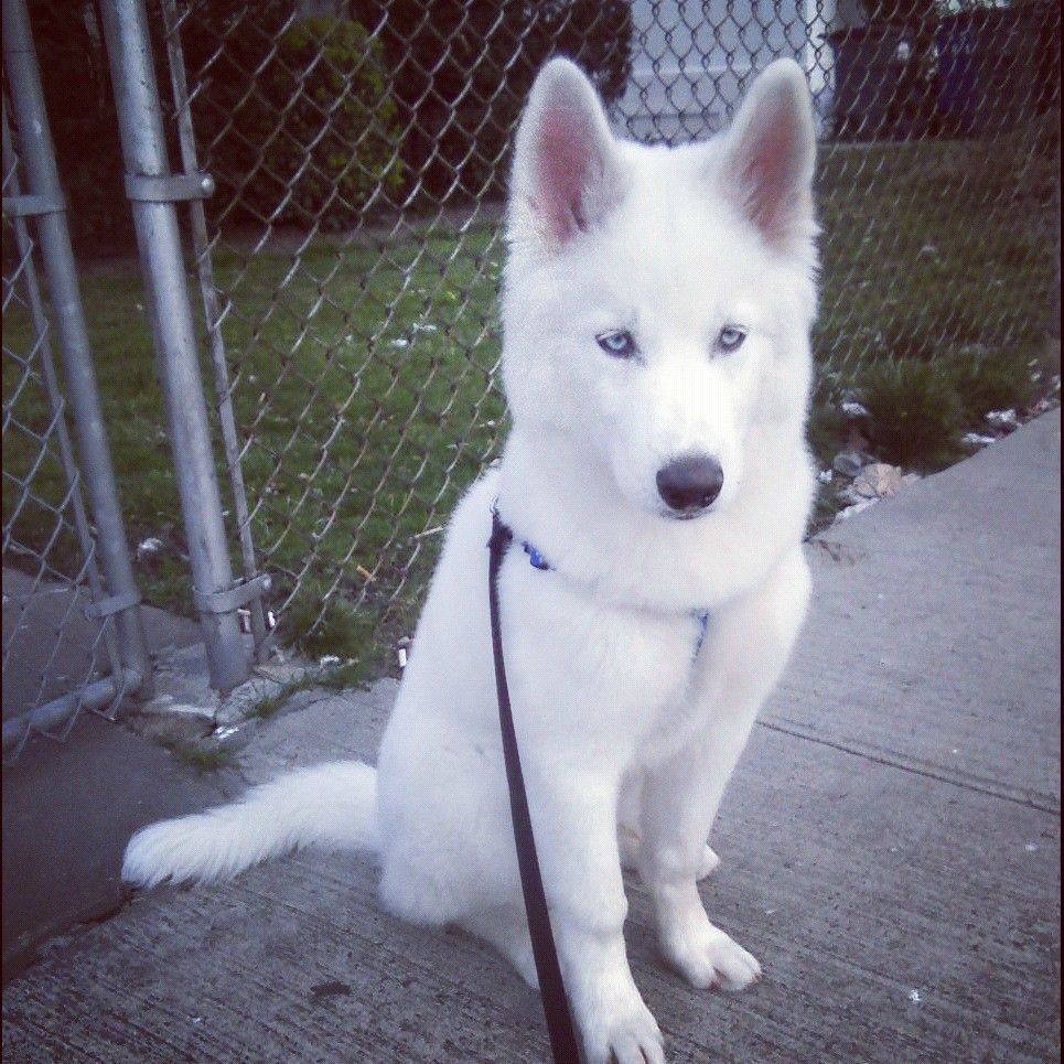 Cloud, my 4 month old white Husky pup