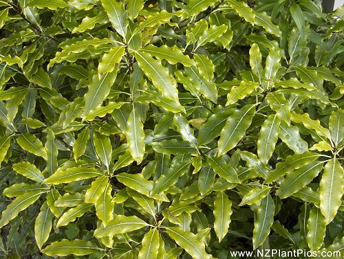 New Zealand Pittosporum plants are often tough and adaptable