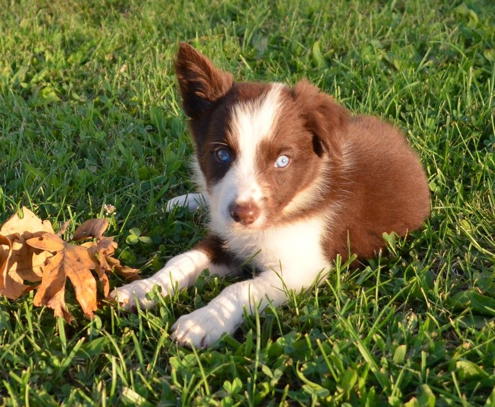 A Red And White Border Collie Puppy Border Collie Puppies