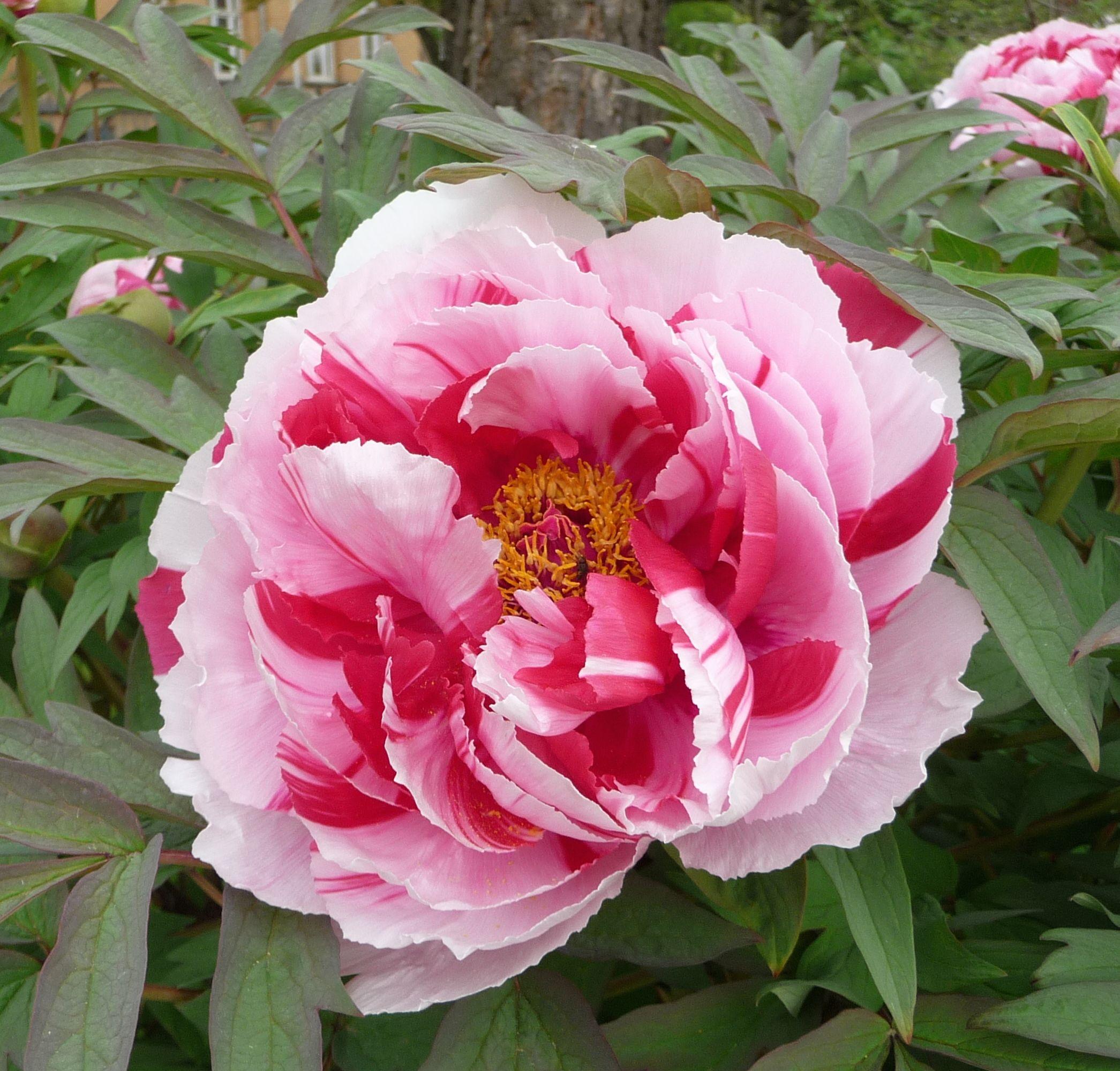 paeonia suffruticosa cv shimanishiki flores. Black Bedroom Furniture Sets. Home Design Ideas