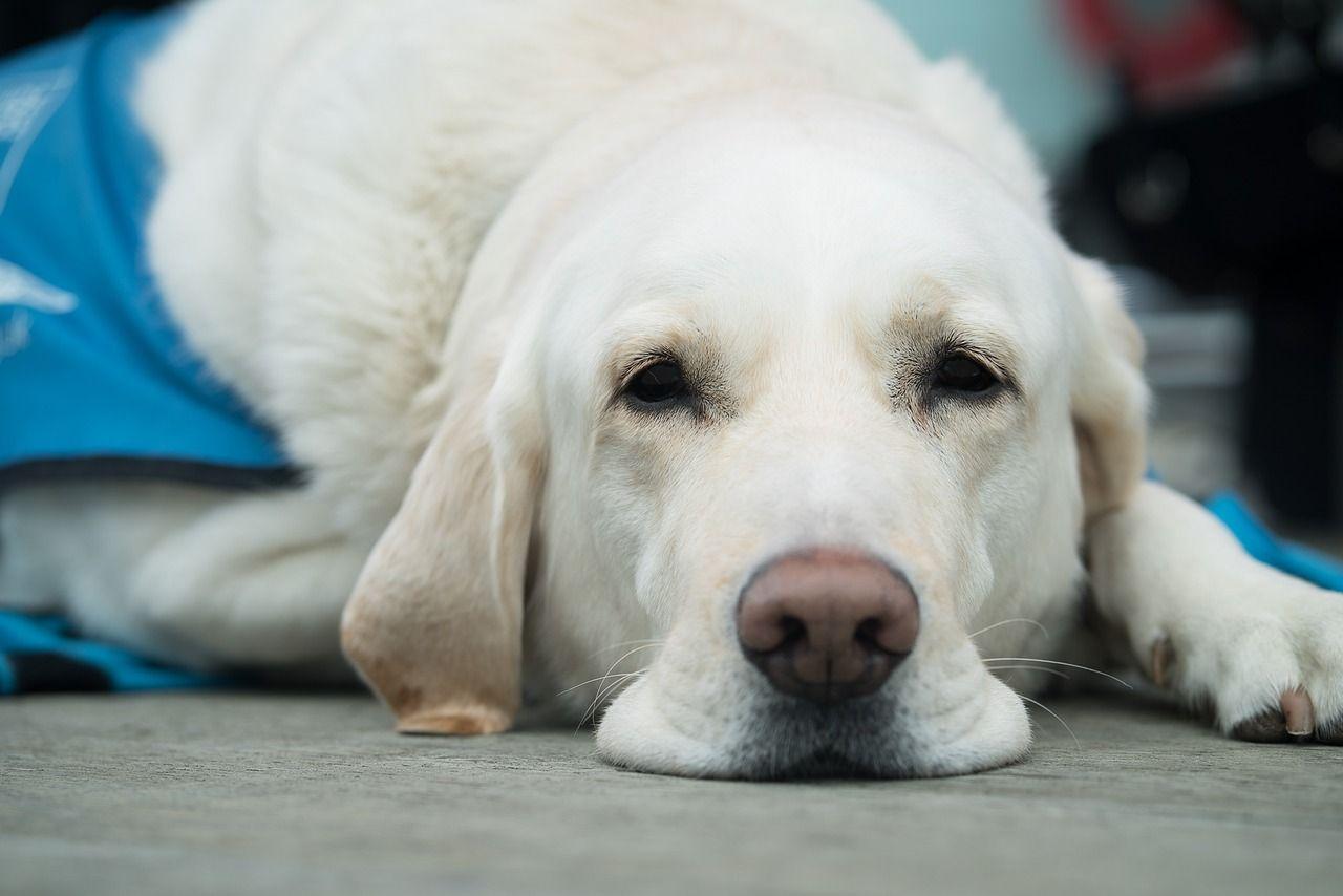 How does pet insurance work large dog breeds dog