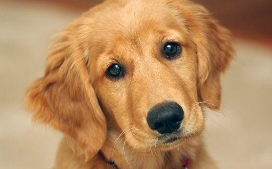 Cute golden retriever puppy animals baby animals dogs golden