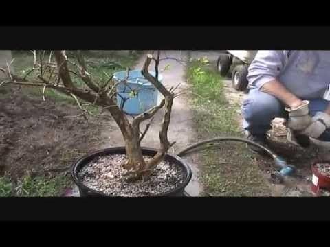 Thickening Pomegranate For Bonsai Bonsai Bonsai Tree Bonsai Art