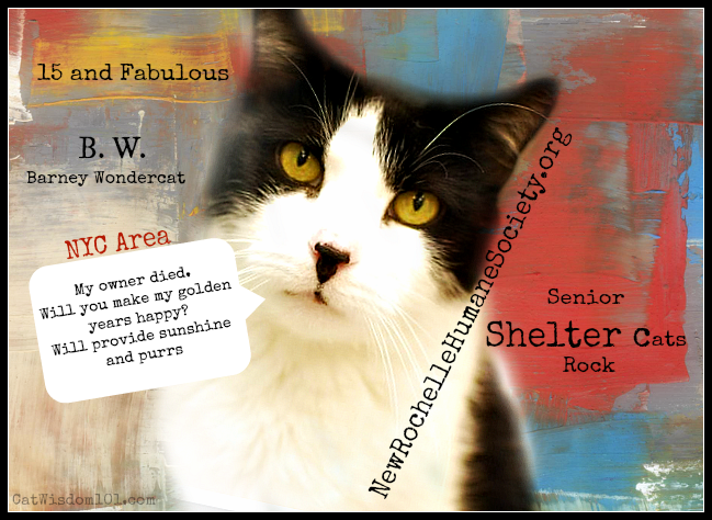 Silver Whiskers Program Free Vet Care For Shelter Cats Cat Shelter Cats Cat With Blue Eyes