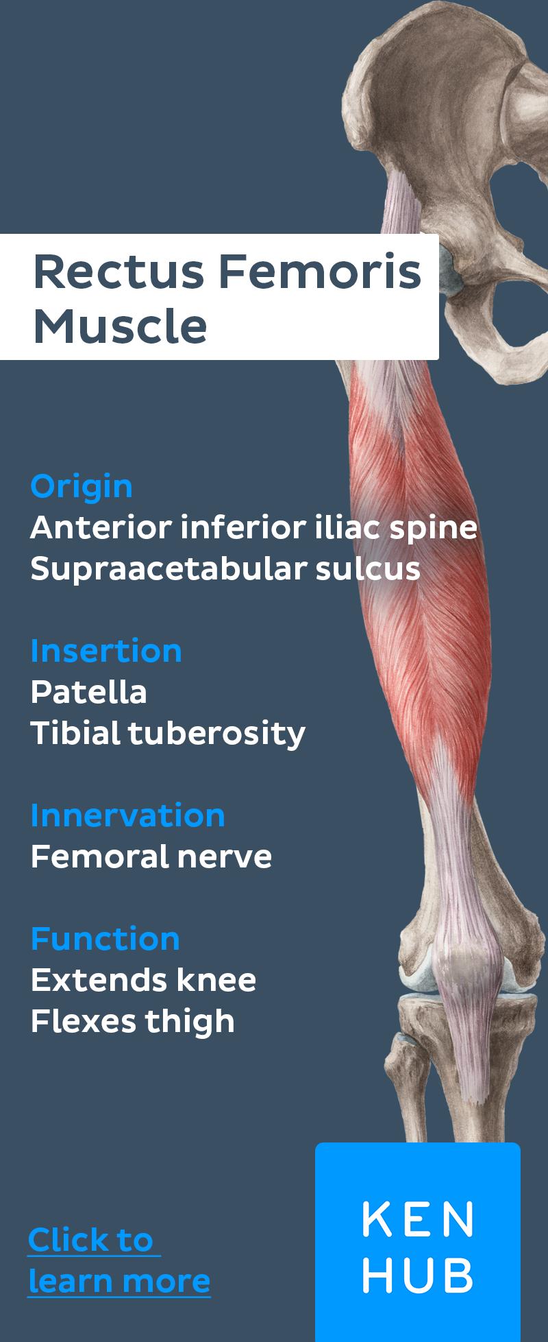 Quadriceps Femoris Muscle | Learn Anatomy Basics | Pinterest ...
