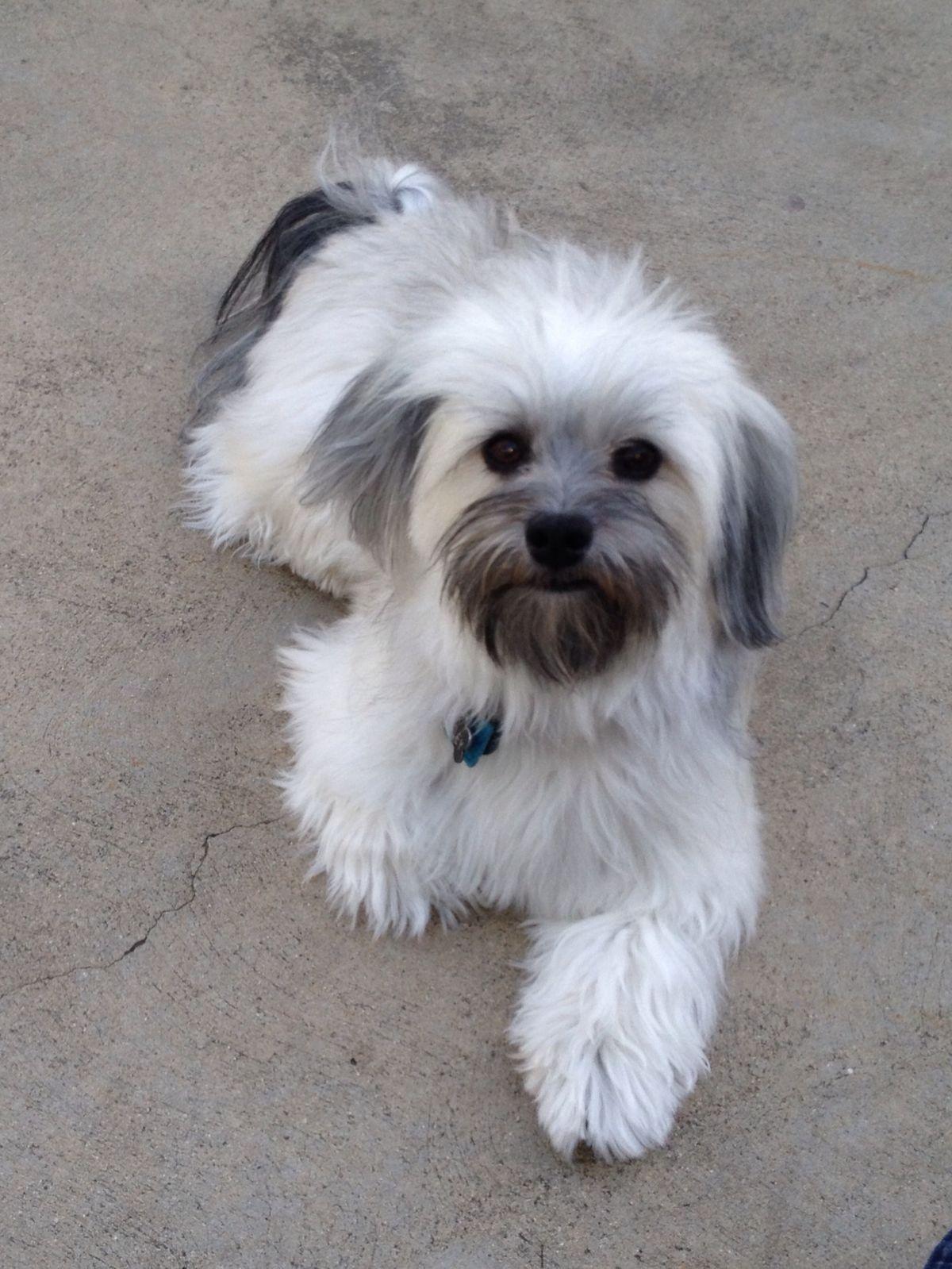 Pin By Debbie Egdamin On Havanese Dog Havanese Puppies Havanese Dogs Havanese