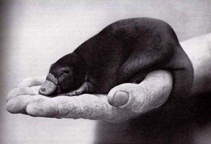 Platypup (baby platypus)