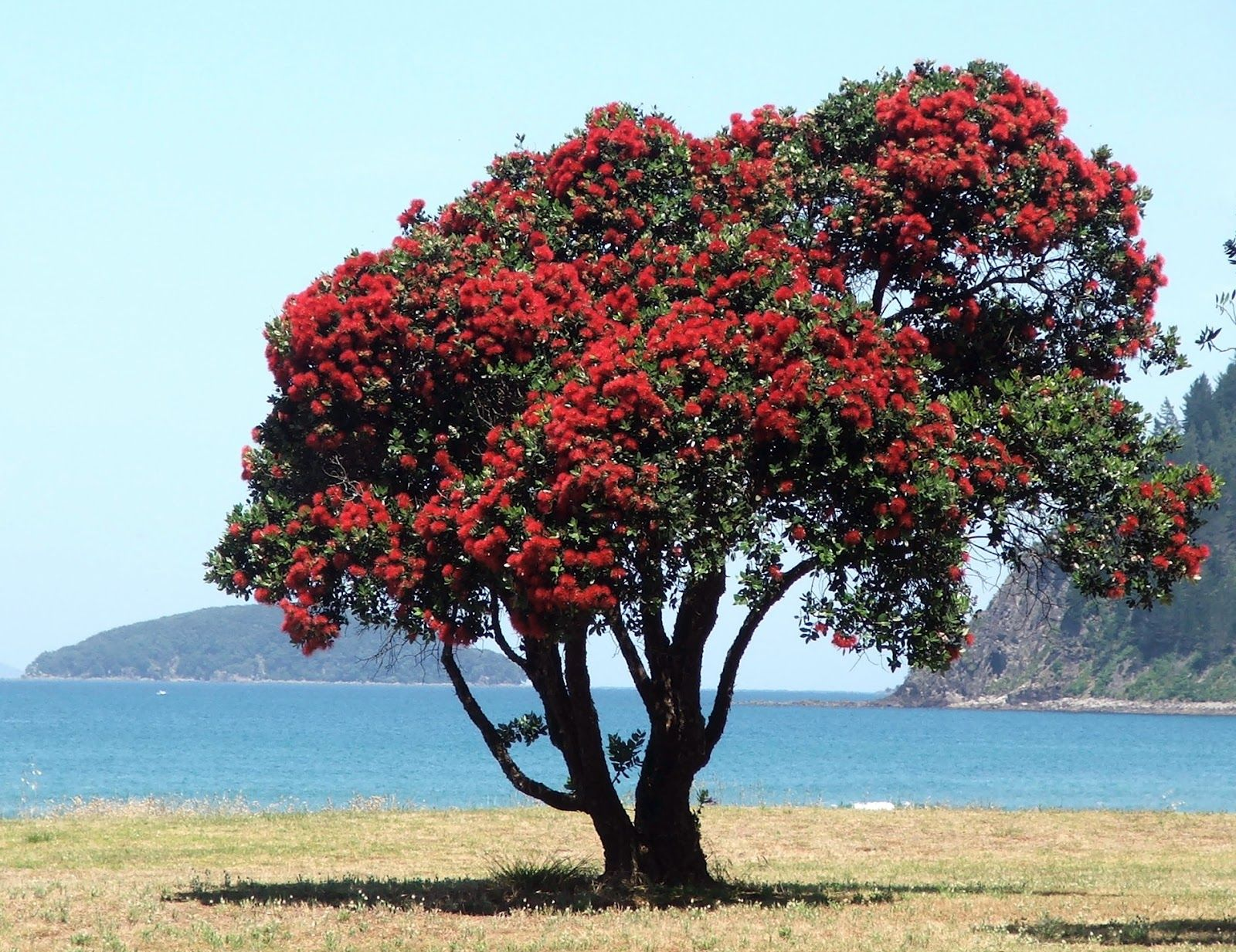 Pohutukawa Tree. New Zealand Christmas Tree Is A Coastal