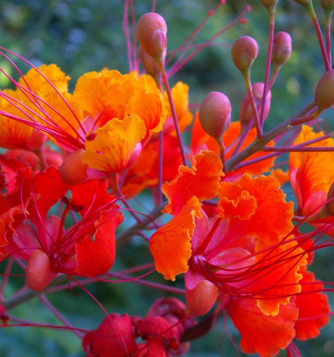 Red Bird of Paradise - Caesalpinia pulcherrima | Flowers 2 ...