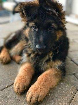 German Shepherd Dog Puppy For Sale In Oswego Il Adn 31569 On