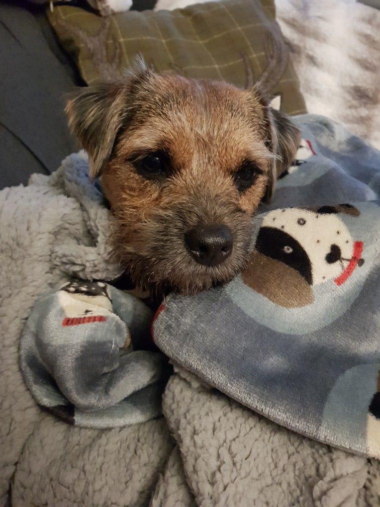 Pin By John Davies On Bt S Border Terrier Brown Dog Terrier