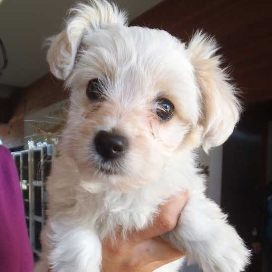 Fergie S Looking For A Forever Home Not The Singer The Shihtzu