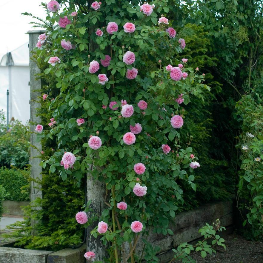 Shade Climbing Roses