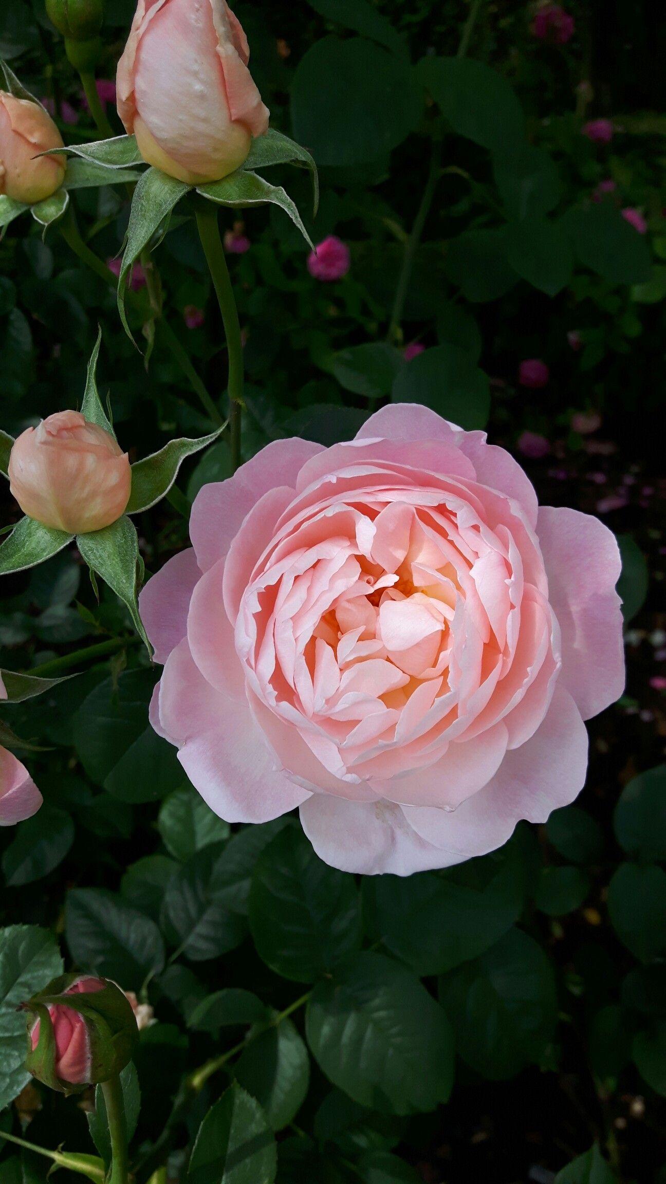Rosa Gentle Hermione v disease resistant, very fragrant
