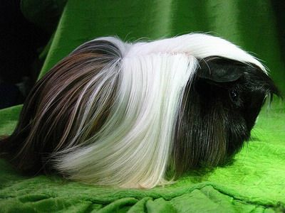 Yup! There's a guinea pig under all that hair! This looks like our guinea pig Toot