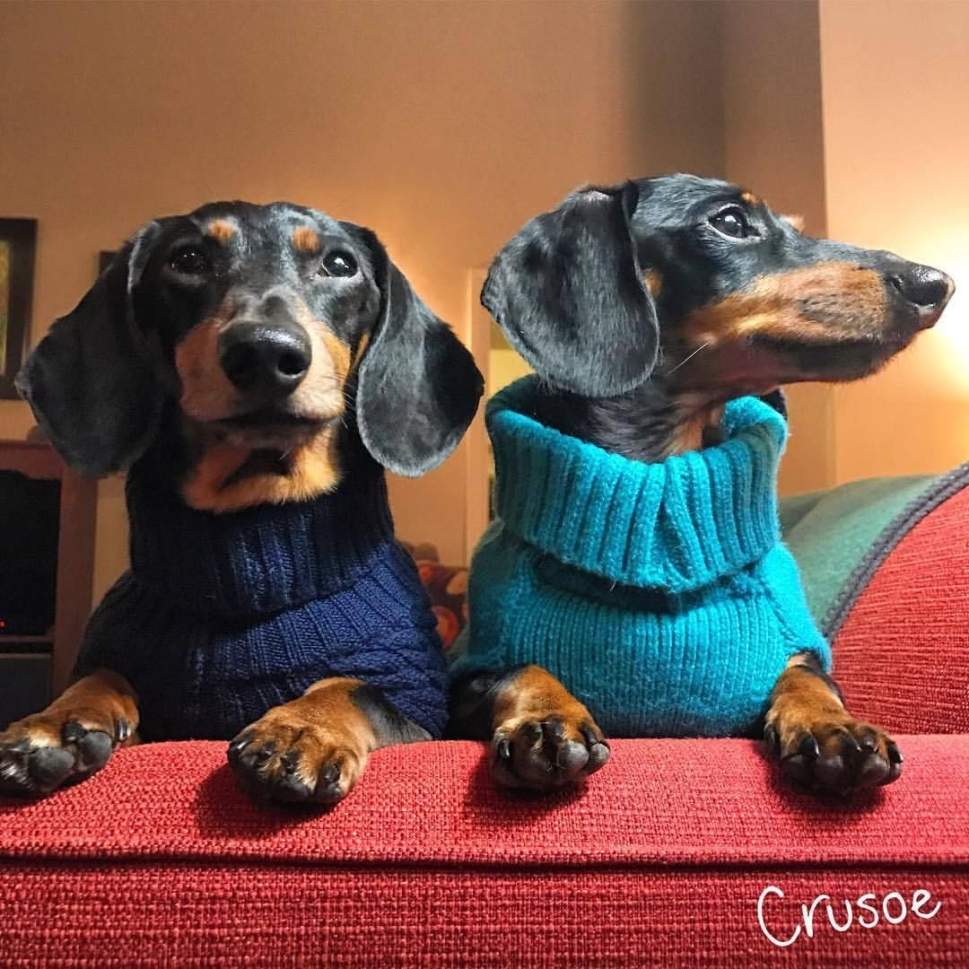 Turtleneck Season Has Begun Crusoe Dachshund Lovers