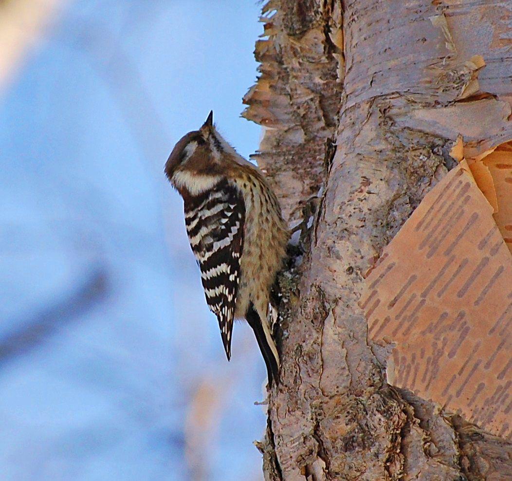 Japanse Dwergspecht  (Van vroegevogels)