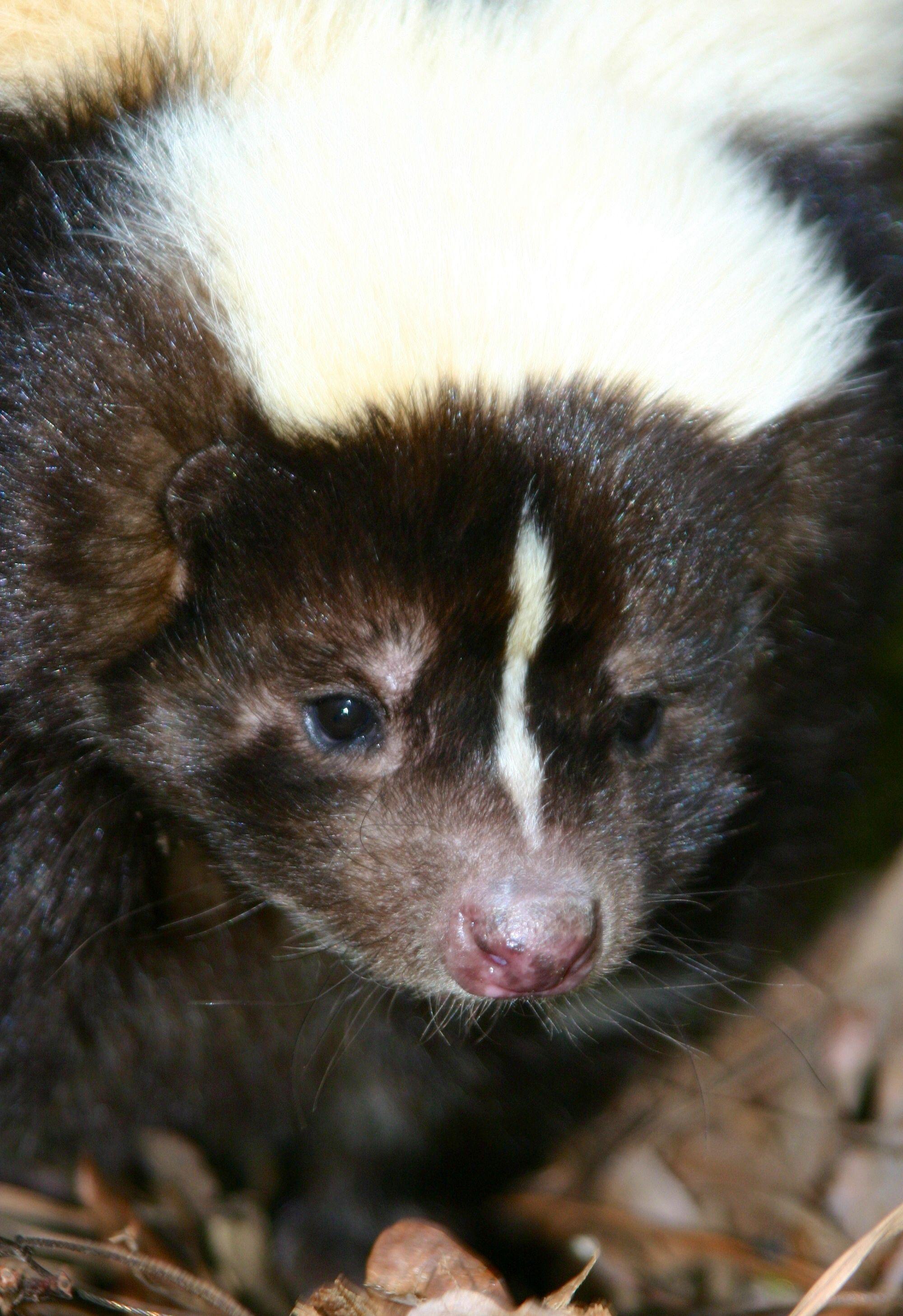 skunk information skanky skunks pinterest