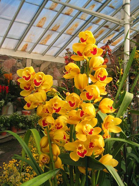 Flower Friday Yellow Orchids Cymbidium Orchids Care Orchid Plants Cymbidium Orchids