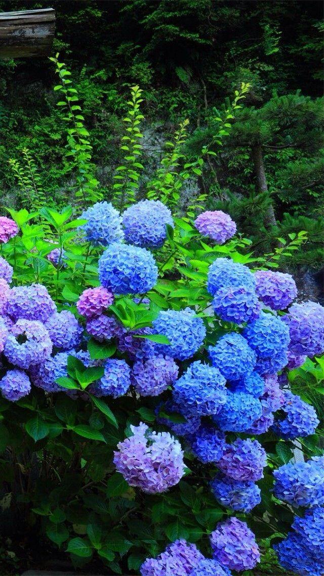 Hydrangea Flower Iphone 5s Wallpaper Hydrangea Flower Amazing Flowers Beautiful Hydrangeas