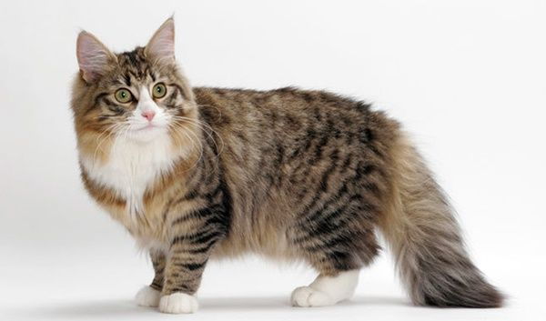 10 Famous Striped Cat Breeds In The World Norwegian Forest Cat Forest Cat Cat Breeds
