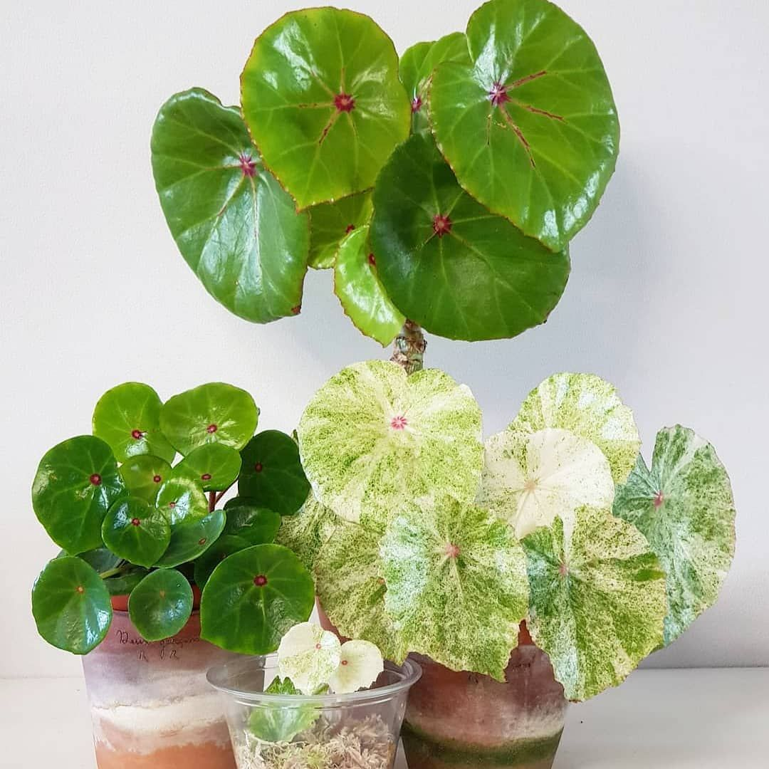 Cambridgebee Co Uk Shared A Photo On Instagram Begonia Conchifolia Green And Variegated Get Yours At Www Cambridgebee Com Photo In 2020 Plants Begonia Variegated