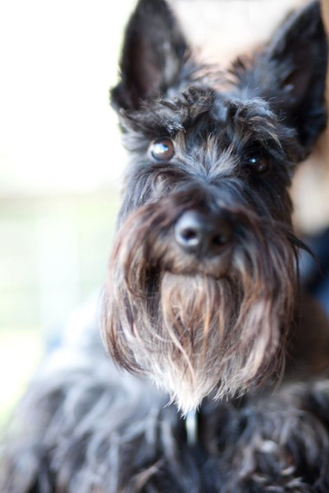 Scottish Terrier Holly Scorese Photographer Barbara Derizzo