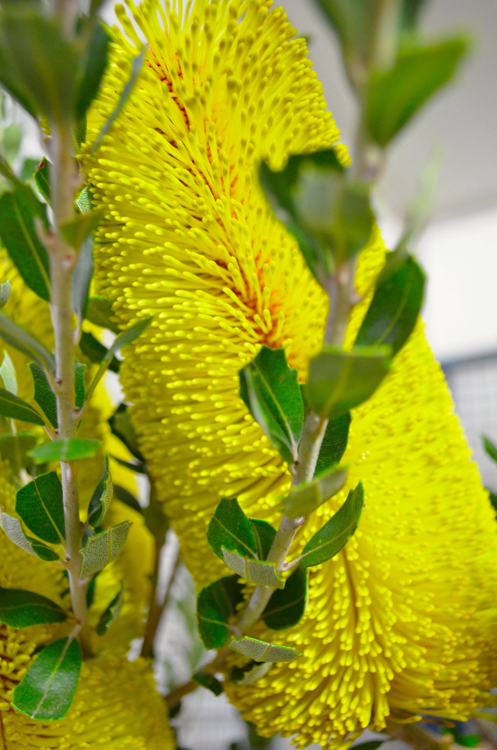Banksia Fresh flowers online, Australian native flowers