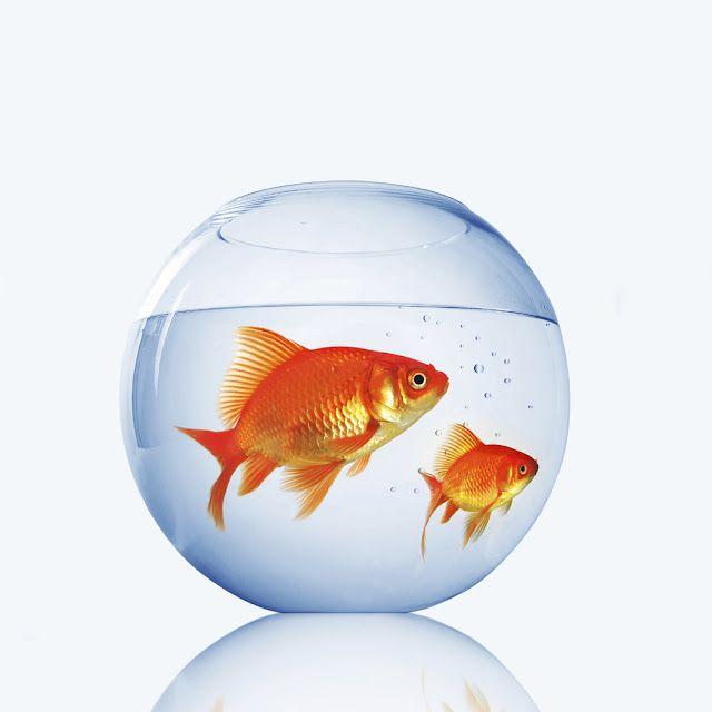 How To Decorate Fish Bowl Goldfish  I Like  Pinterest  Goldfish Fish And Pet Fish
