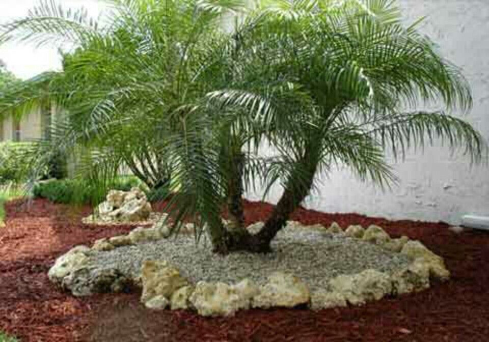 Love This Pygmy Date Palm Tree Bed Florida Landscaping