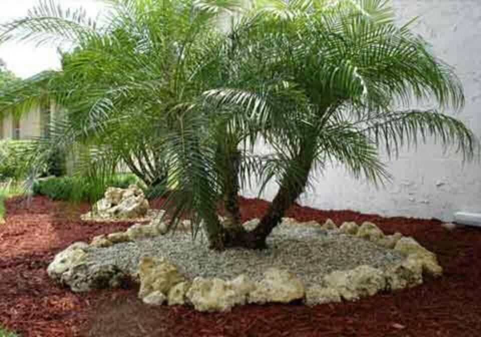 Love This Pygmy Date Palm Tree Bed Jardines Jardineria