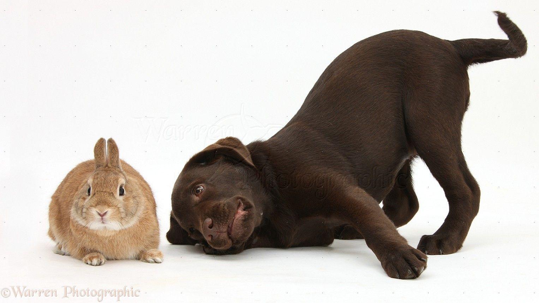 chocolate labrador - Google Search | Dogs | Pinterest | Chocolate ...