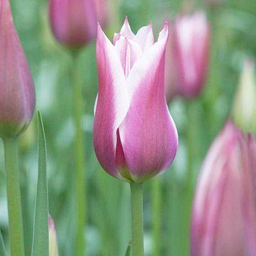 Tulip Lily Flowering Hybrids Tulipas
